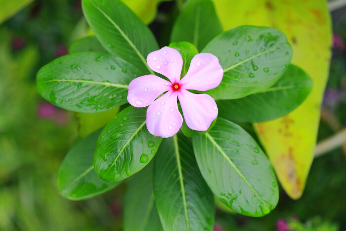 Periwinkle Flower Meaning - Flower Meaning