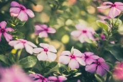 Periwinkle Flower