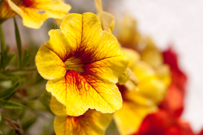 Petunia Flower Meaning Flower Meaning