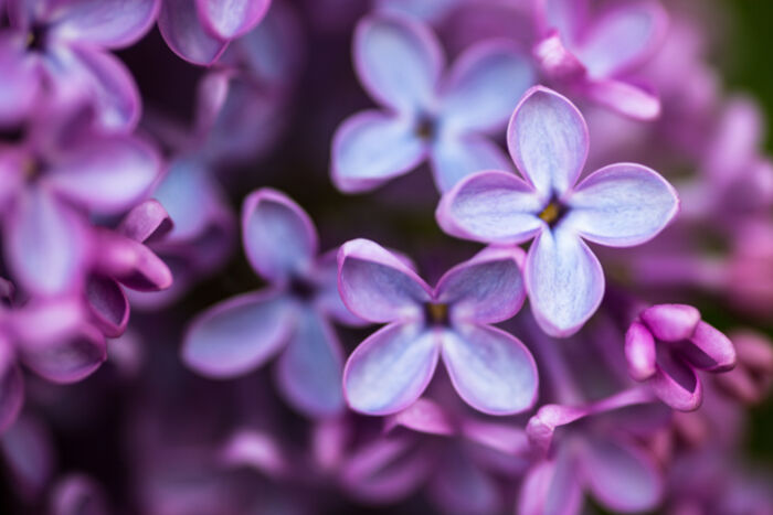 Purple Flowers Meaning Flower Meaning
