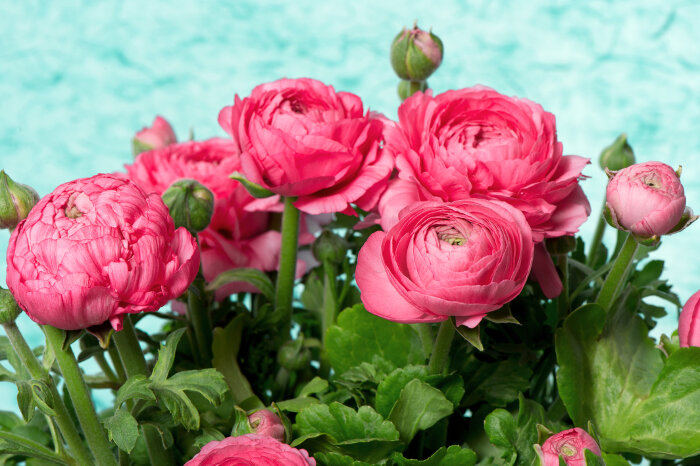 ranunculus flower meaning  flower meaning, Natural flower
