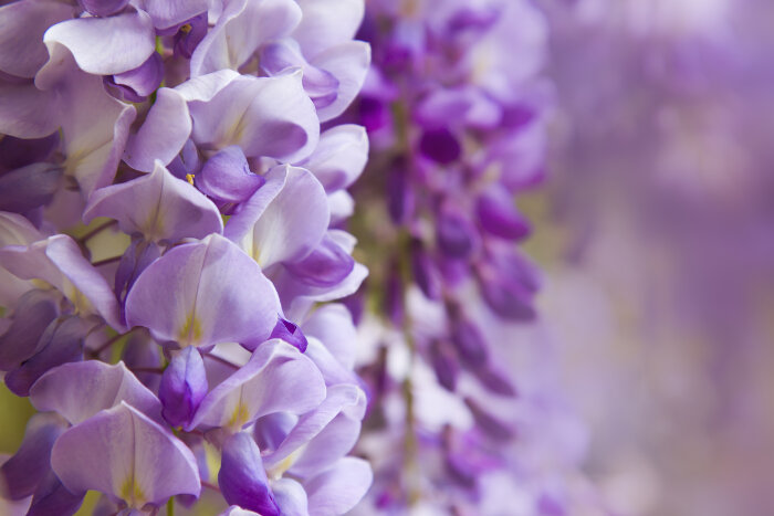 wisteria flower meaning  flower meaning, Natural flower