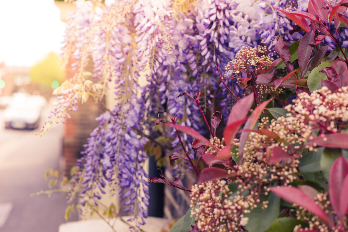 Wisteria Flower Meaning Flower Meaning