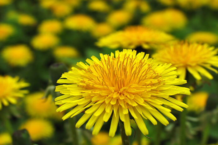 Yellow flowers meaning flower meaning dandelion mightylinksfo