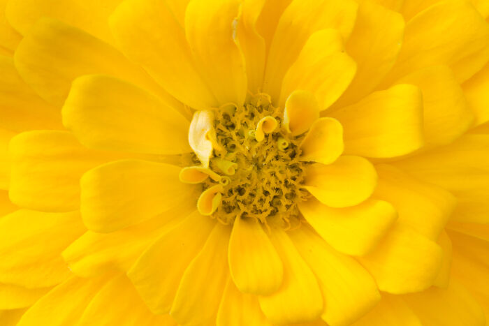 Yellow flowers meaning flower meaning zinnia mightylinksfo